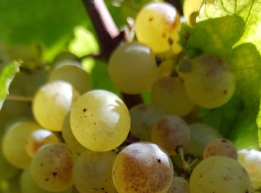 raisins du château Loupiac-Gaudiet